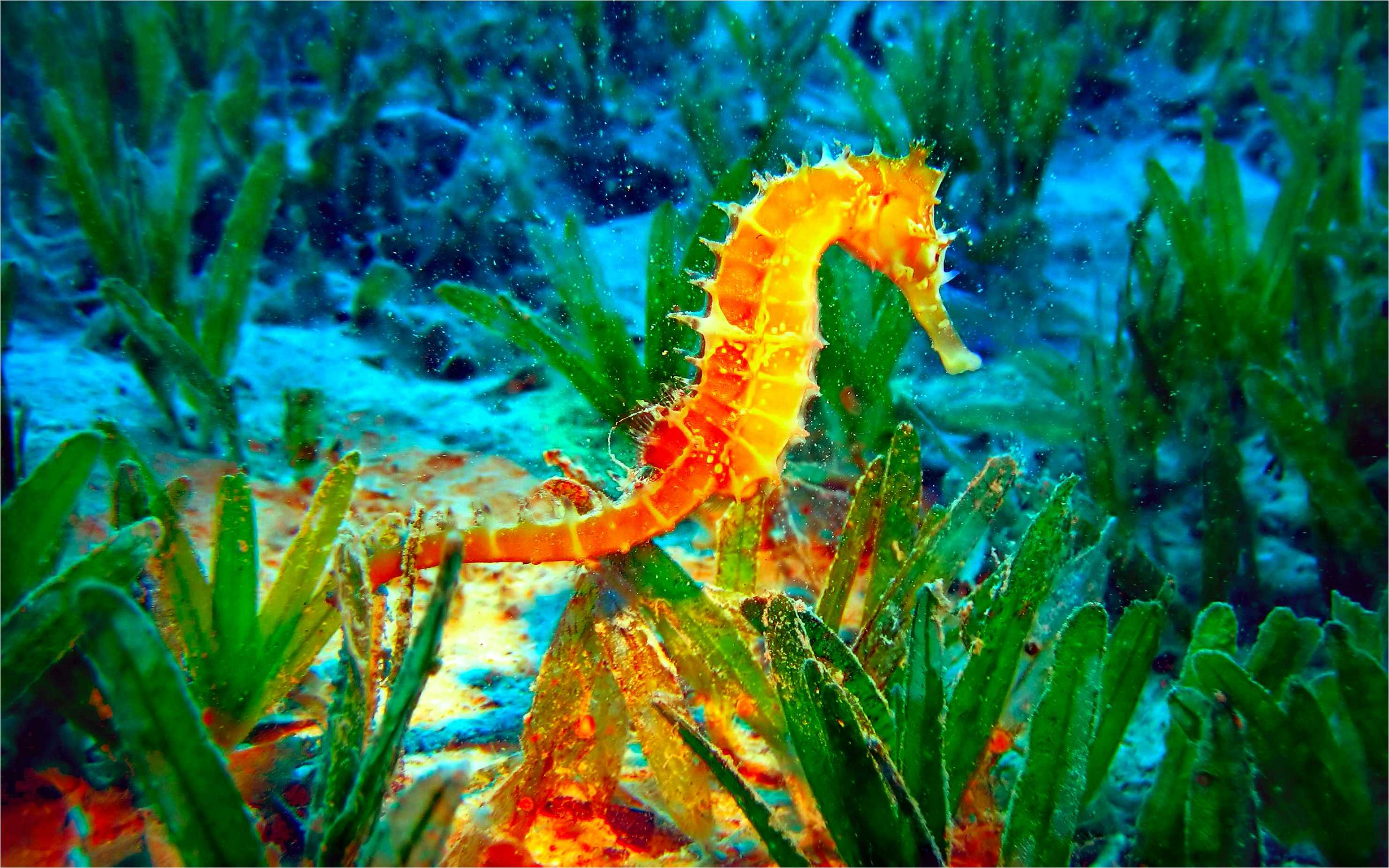 40 Seahorse Android Iphone Desktop Hd Backgrounds Wallpapers 1080p 4k 2962x1852 2020