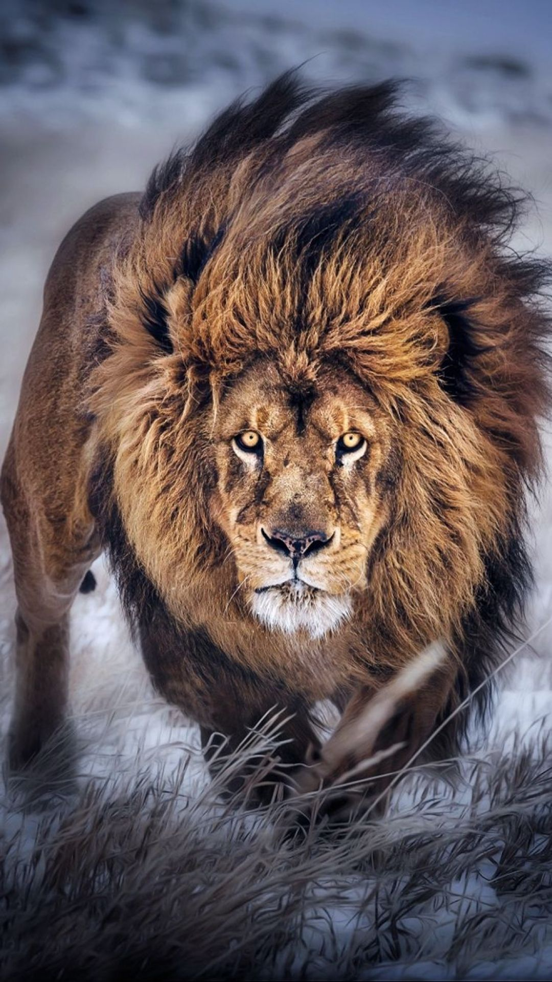 60 Lion Android Iphone Desktop Hd Backgrounds