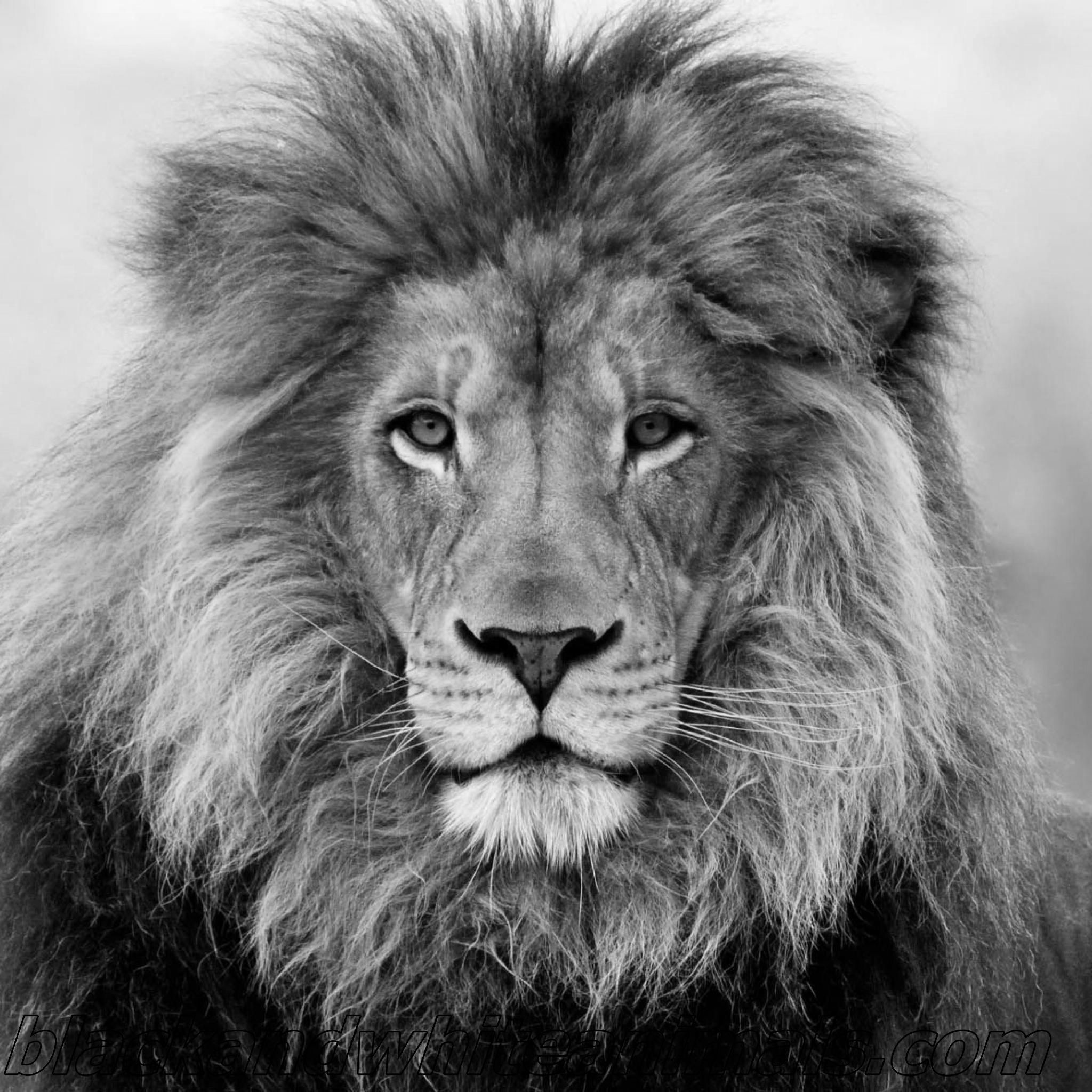 45 Lion Wallpaper Black And White Android Iphone Desktop Hd Backgrounds Wallpapers 1080p 4k 2048x2048 2020
