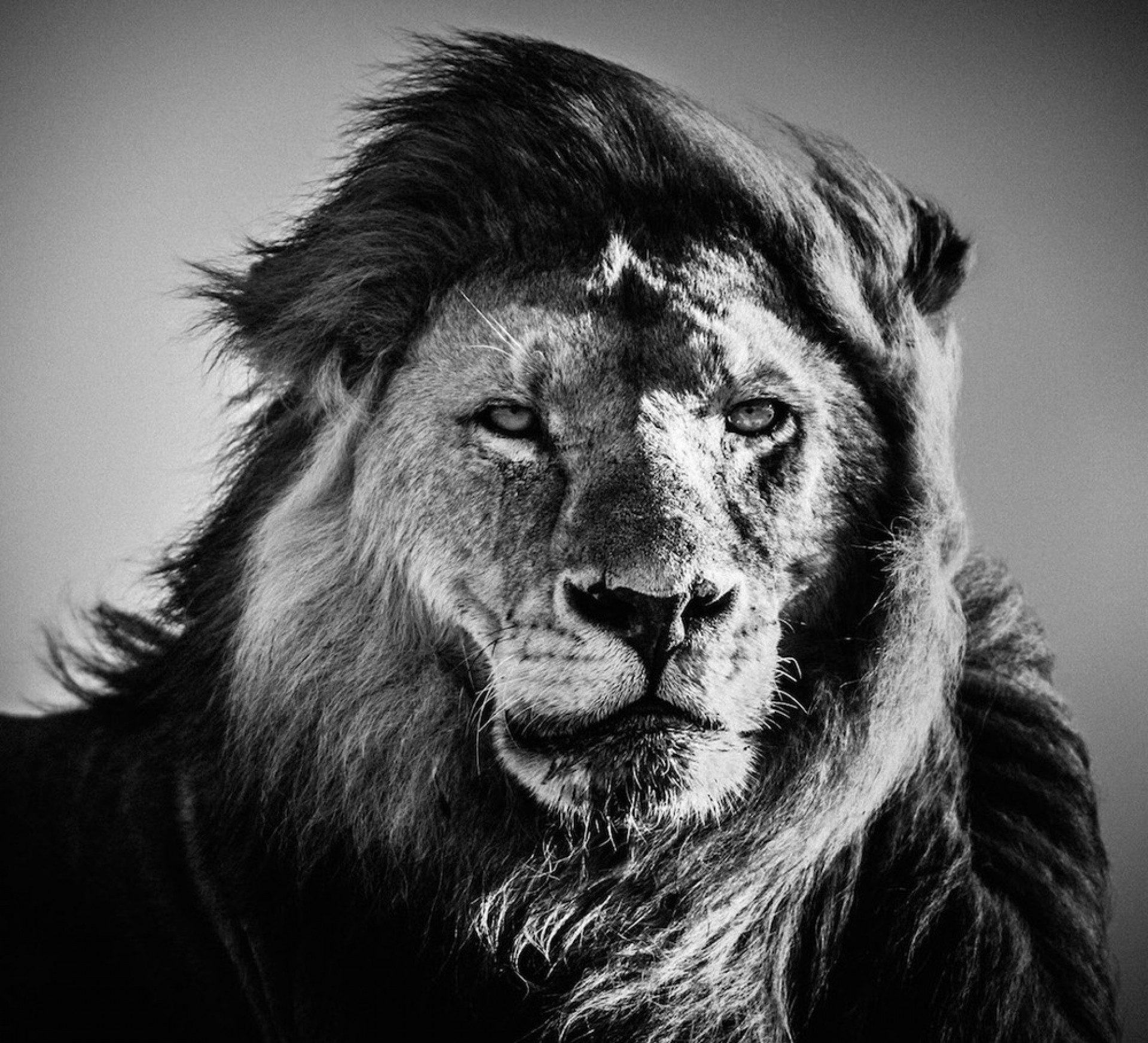 45 Lion Wallpaper Black And White Android Iphone Desktop Hd Backgrounds Wallpapers 1080p 4k 1920x1745 2020