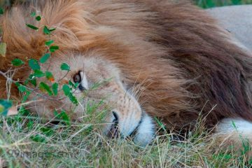 Best Lion HD Photos (Baby Lion, Roaring, Angry, African, White, Black), Wallpapers, WhatsApp DP & Status Download