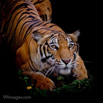 Best Tiger HD Photos (Baby Tiger, Wild, Bengal, Siberian, White, Black), Wallpapers, WhatsApp DP & Status Download