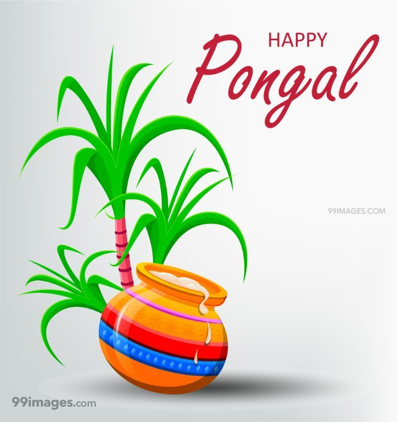 [15th January 2020] Happy Pongal (Pongal Vazhthukkal) WhatsApp DP Images, Wishes, Quotes, Messages HD (283432) - Pongal