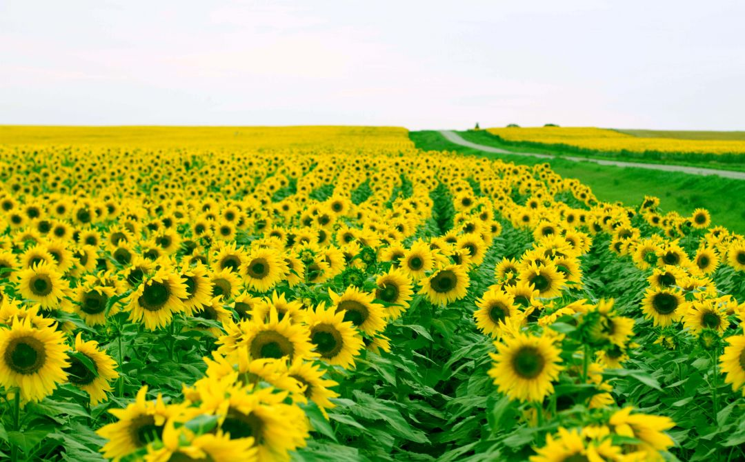 40 Yellow Aesthetic Sunflowers Android Iphone Desktop Hd