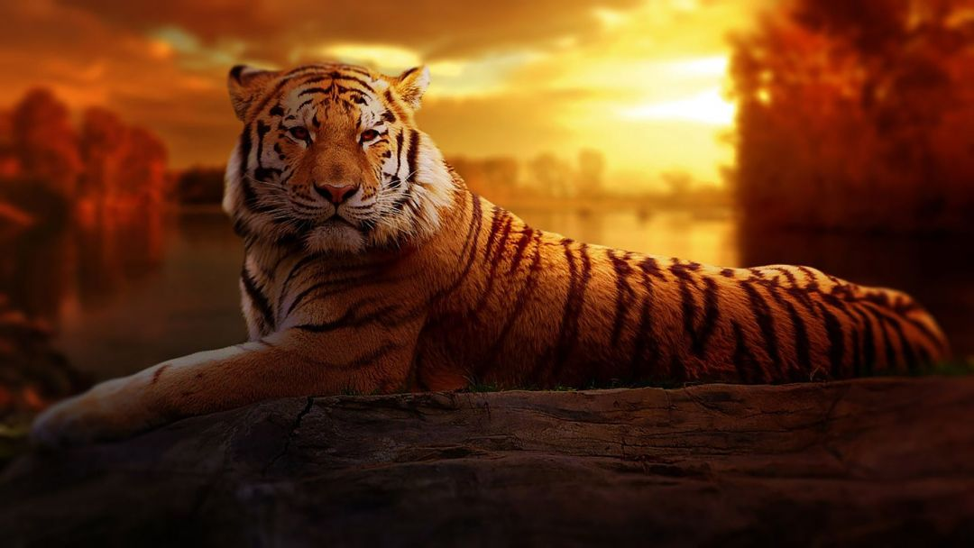 50 8k Tiger Uhd Android Iphone Desktop Hd