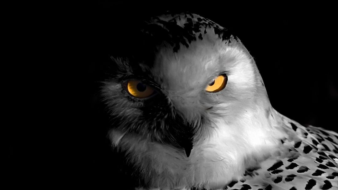40 Black And White Owl Android Iphone Desktop Hd Backgrounds Wallpapers 1080p 4k 1920x1080 2020