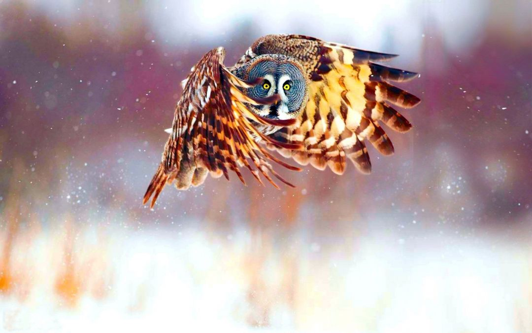 Owl HD Wallpaper and Background Image - Android / iPhone HD Wallpaper Background Download (950517) - Animals