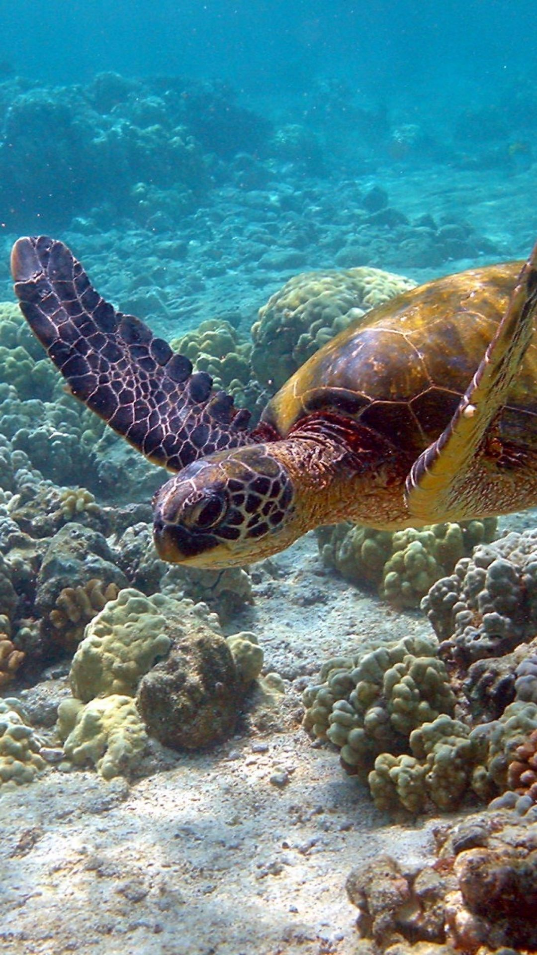 50 Sea Turtle Wallpaper Backgrounds Android Iphone Desktop Hd Backgrounds Wallpapers 1080p 4k 1440x2560 2021