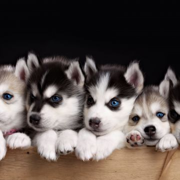 Baby huskies - Android, iPhone, Desktop HD Backgrounds / Wallpapers (1080p, 4k)