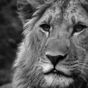 45 Lion Wallpaper Black And White Android Iphone Desktop
