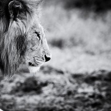45 Lion Wallpaper Black And White Android Iphone Desktop Hd Backgrounds Wallpapers 1080p 4k 1920x1080 2020