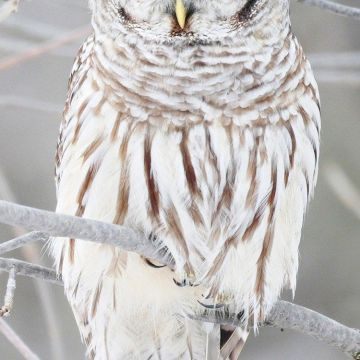 White Owl IPhone 6 Wallpaper - Android / iPhone HD Wallpaper Background Download