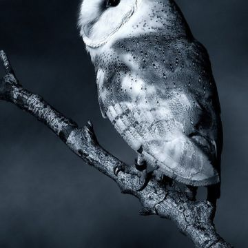 White Night Owl Android Wallpaper free download - Android / iPhone HD Wallpaper Background Download