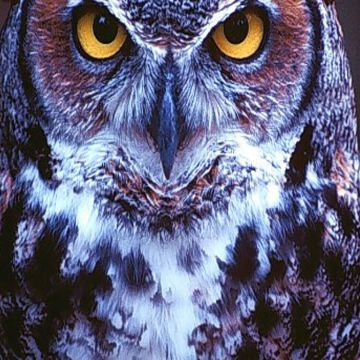 Owl look dangerous iphone wallpaper - Android / iPhone HD Wallpaper Background Download