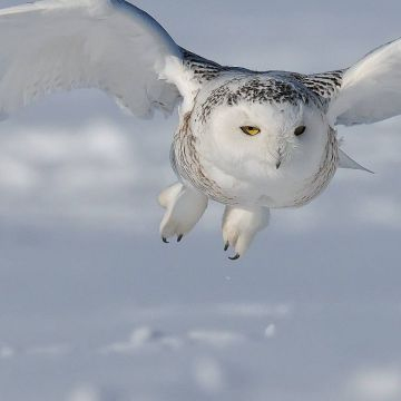 Snowy Owl HD Background Wallpaper 20429 - Android / iPhone HD Wallpaper Background Download