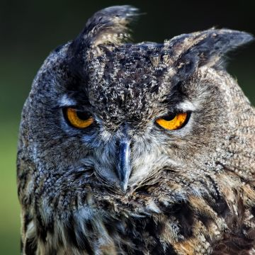 4K Ultra HD Owl Wallpaper and Background Image - Android / iPhone HD Wallpaper Background Download