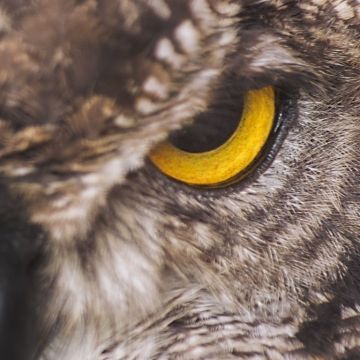 Eagle Owl ❤ 4K HD Desktop Wallpaper for 4K Ultra HD TV • Wide - Android / iPhone HD Wallpaper Background Download