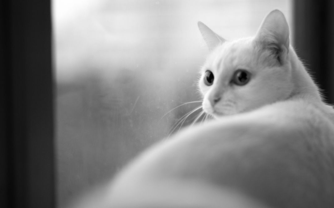 50 White Cat Android Iphone Desktop Hd Backgrounds Wallpapers 1080p 4k 2560x1600 2020