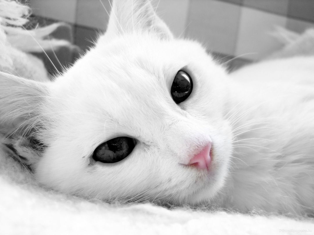 50 White Cat Android Iphone Desktop Hd Backgrounds Wallpapers 1080p 4k 2048x1536 2020
