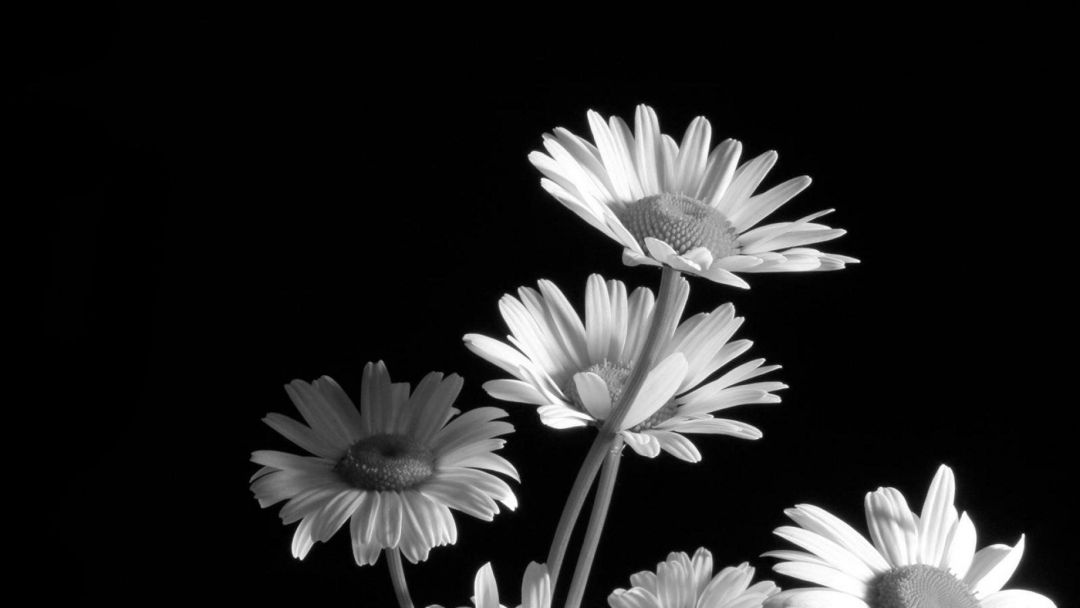 Black and White Flower - Android, iPhone, Desktop HD Backgrounds / Wallpapers (1080p, 4k) (240433) - Flowers