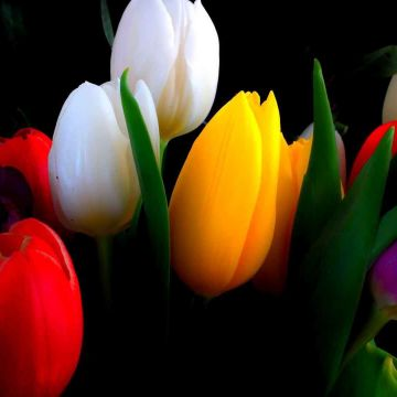 Tulips background - Android, iPhone, Desktop HD Backgrounds / Wallpapers (1080p, 4k)