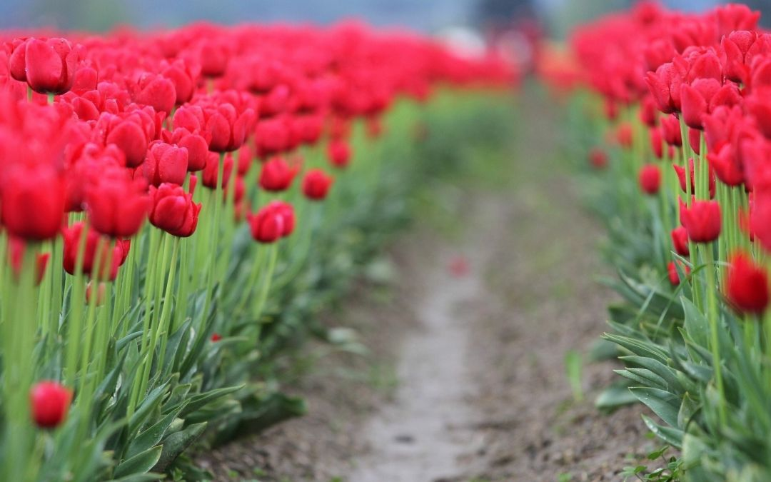 Tulips Background - Android, iPhone, Desktop HD Backgrounds / Wallpapers (1080p, 4k) (337414) - Flowers