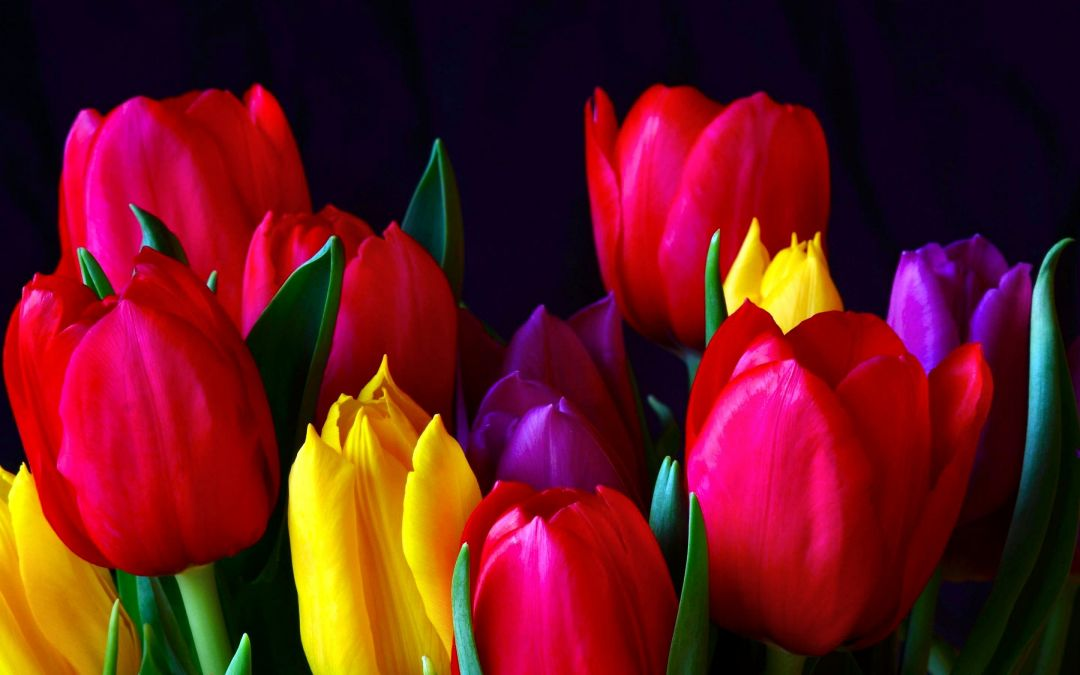 Tulips Background - Android, iPhone, Desktop HD Backgrounds / Wallpapers (1080p, 4k) (337537) - Flowers