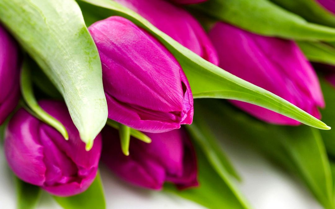 Tulips Background - Android, iPhone, Desktop HD Backgrounds / Wallpapers (1080p, 4k) (337416) - Flowers