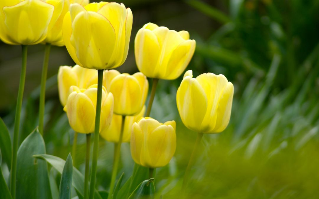 Tulips background - Android, iPhone, Desktop HD Backgrounds / Wallpapers (1080p, 4k) (408795) - Flowers