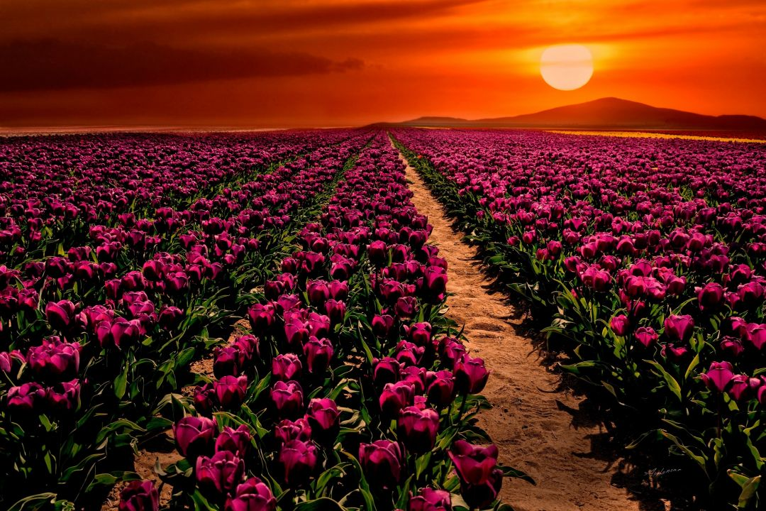 Tulips background - Android, iPhone, Desktop HD Backgrounds / Wallpapers (1080p, 4k) (408824) - Flowers
