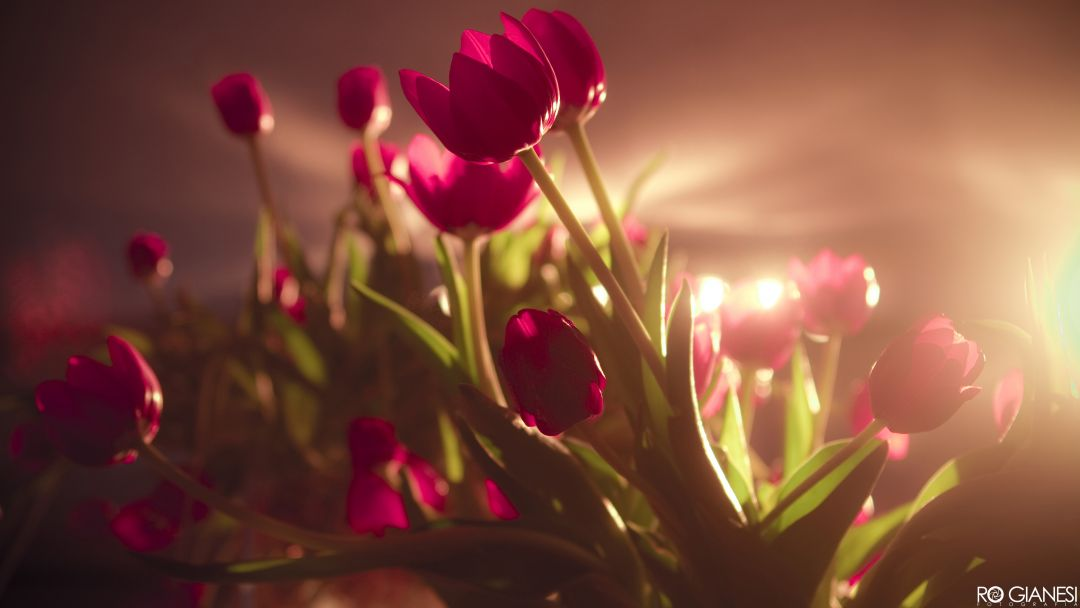 Tulips background - Android, iPhone, Desktop HD Backgrounds / Wallpapers (1080p, 4k) (408779) - Flowers