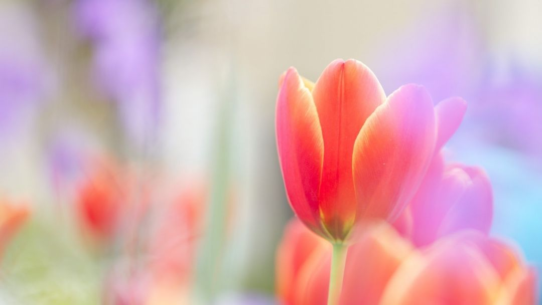 Tulips background - Android, iPhone, Desktop HD Backgrounds / Wallpapers (1080p, 4k) (408786) - Flowers