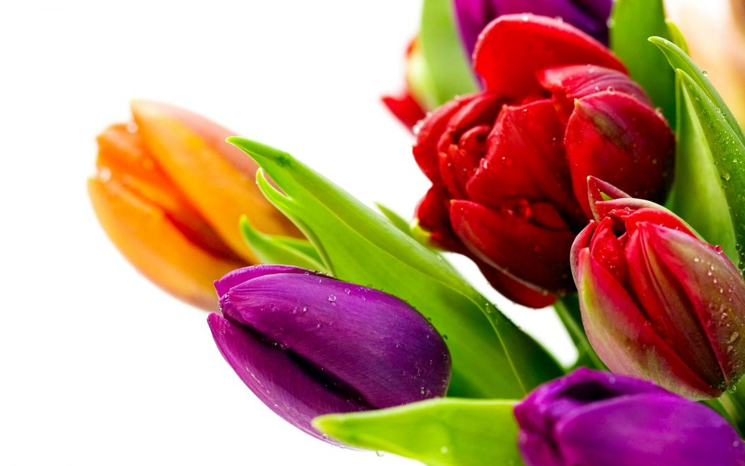 Tulips background - Android, iPhone, Desktop HD Backgrounds / Wallpapers (1080p, 4k) (408772) - Flowers