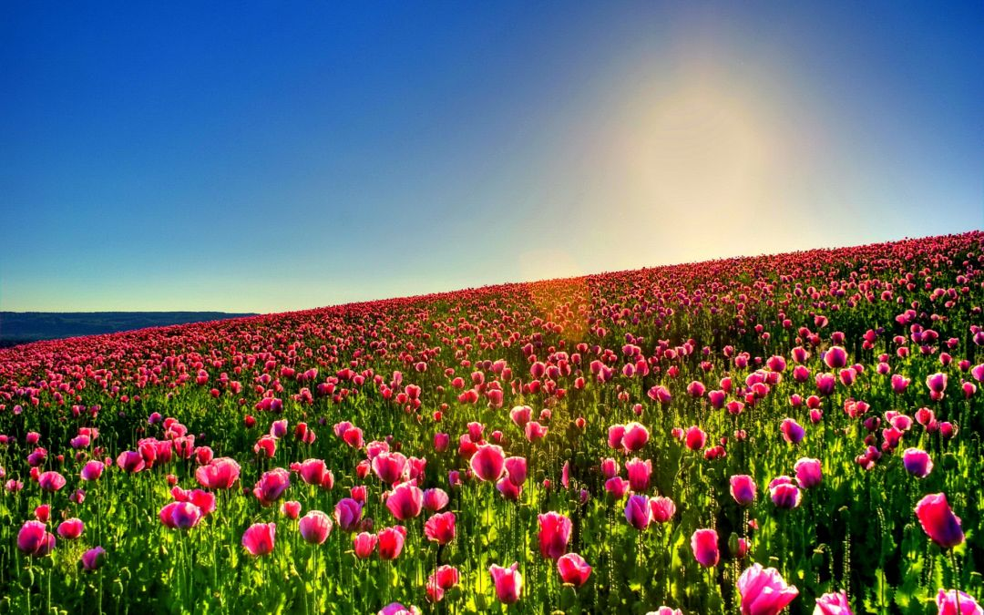 Tulips Background - Android, iPhone, Desktop HD Backgrounds / Wallpapers (1080p, 4k) (337559) - Flowers