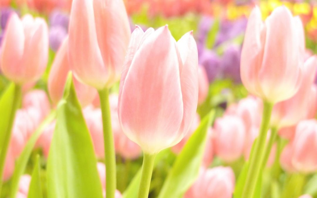 Tulips background - Android, iPhone, Desktop HD Backgrounds / Wallpapers (1080p, 4k) (408734) - Flowers