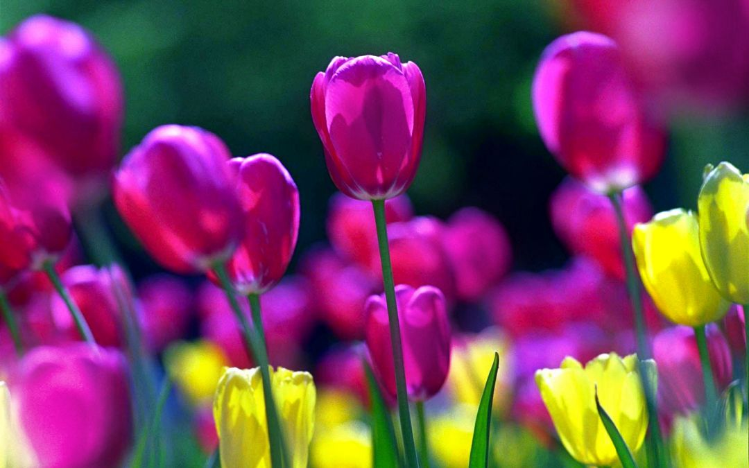 Tulips background - Android, iPhone, Desktop HD Backgrounds / Wallpapers (1080p, 4k) (408758) - Flowers