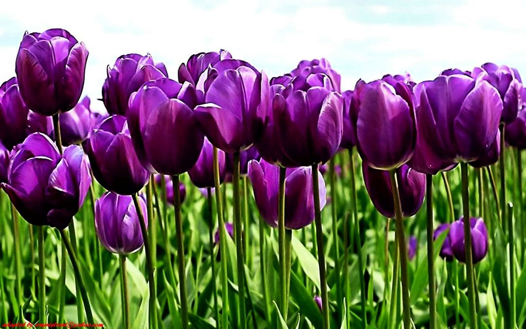 Tulips background - Android, iPhone, Desktop HD Backgrounds / Wallpapers (1080p, 4k) (408681) - Flowers