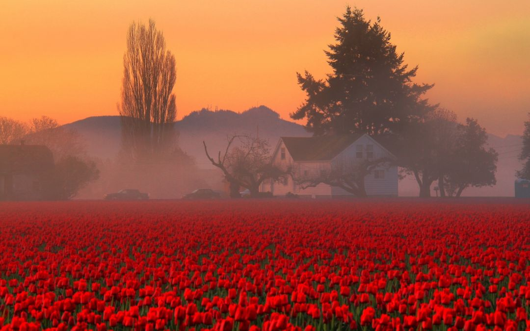 Tulips Background - Android, iPhone, Desktop HD Backgrounds / Wallpapers (1080p, 4k) (337519) - Flowers
