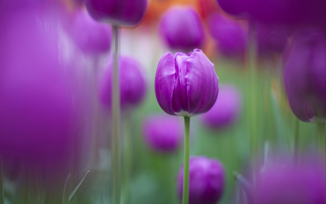 Tulips Background - Android, iPhone, Desktop HD Backgrounds / Wallpapers (1080p, 4k) (337528) - Flowers
