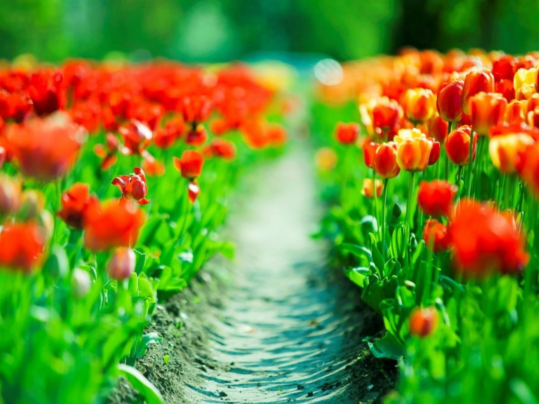 Tulips Background - Android, iPhone, Desktop HD Backgrounds / Wallpapers (1080p, 4k) (337481) - Flowers