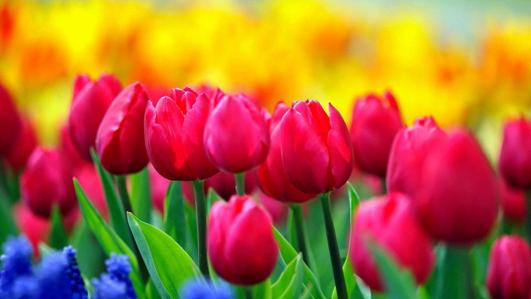 Tulips background - Android, iPhone, Desktop HD Backgrounds / Wallpapers (1080p, 4k) (408694) - Flowers