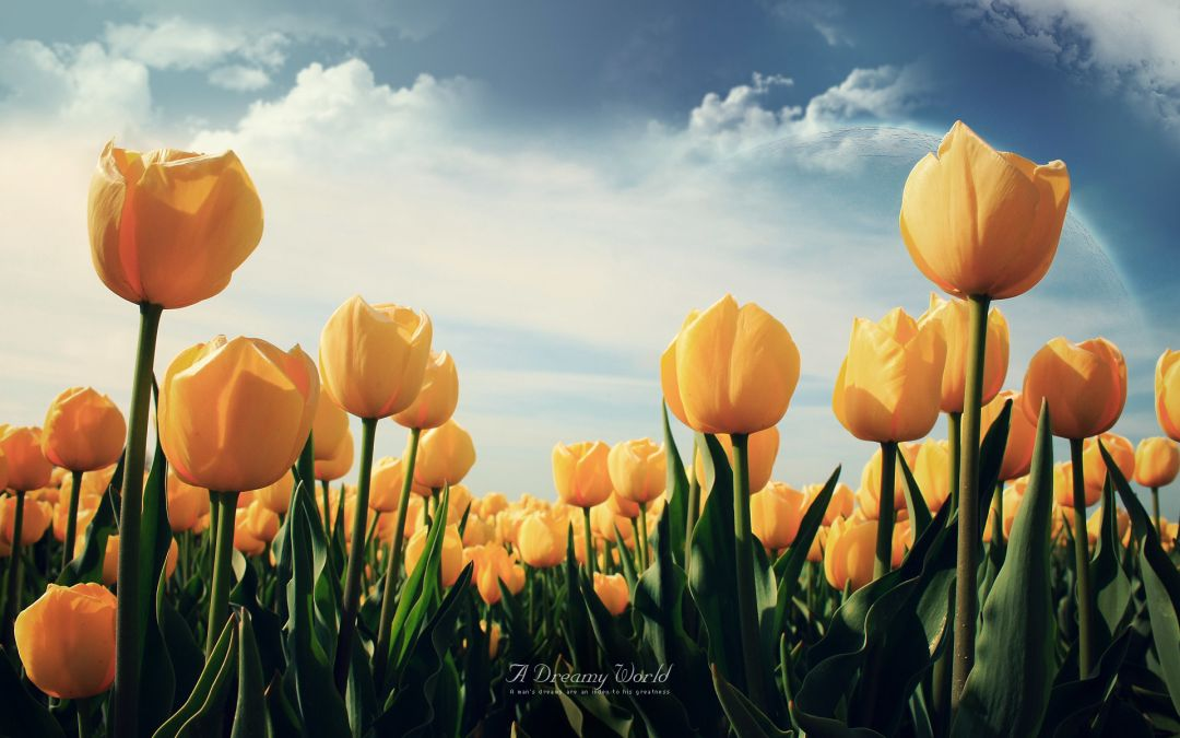 Tulips background - Android, iPhone, Desktop HD Backgrounds / Wallpapers (1080p, 4k) (408690) - Flowers