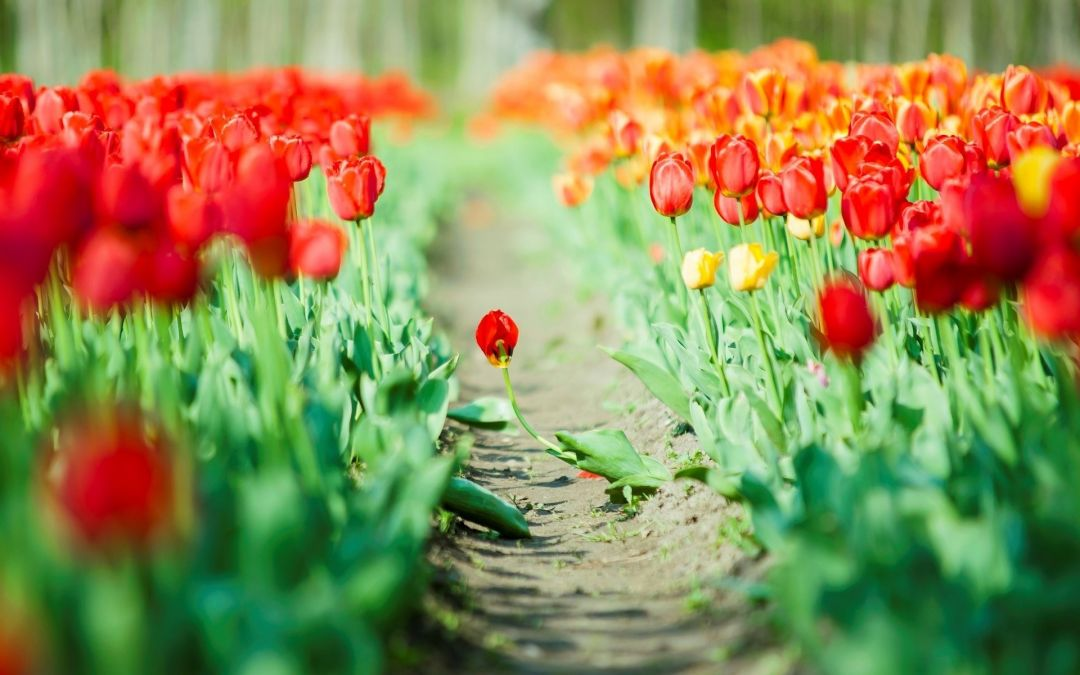 Tulips Background - Android, iPhone, Desktop HD Backgrounds / Wallpapers (1080p, 4k) (337458) - Flowers