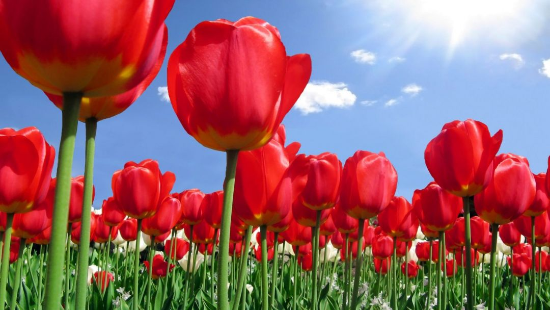 Tulips Background - Android, iPhone, Desktop HD Backgrounds / Wallpapers (1080p, 4k) (337525) - Flowers