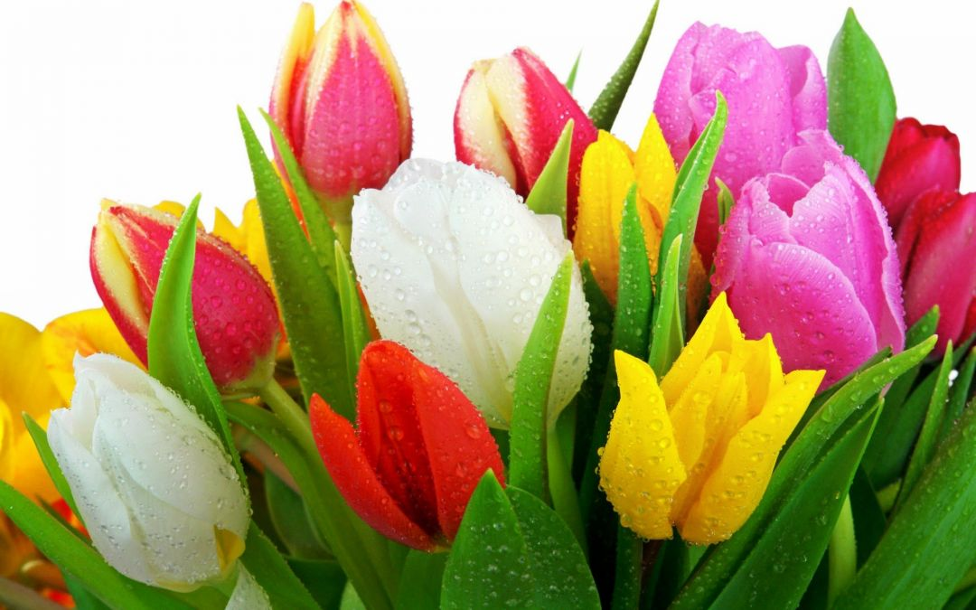 Tulips Background - Android, iPhone, Desktop HD Backgrounds / Wallpapers (1080p, 4k) (337479) - Flowers
