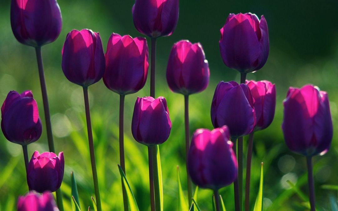 Tulips Background - Android, iPhone, Desktop HD Backgrounds / Wallpapers (1080p, 4k) (337495) - Flowers
