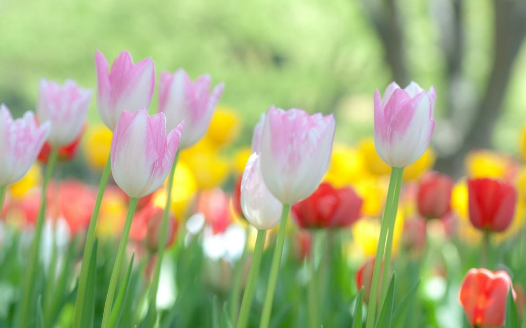 Tulips Background - Android, iPhone, Desktop HD Backgrounds / Wallpapers (1080p, 4k) (337506) - Flowers