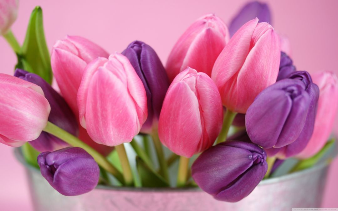 Tulips background - Android, iPhone, Desktop HD Backgrounds / Wallpapers (1080p, 4k) (408801) - Flowers