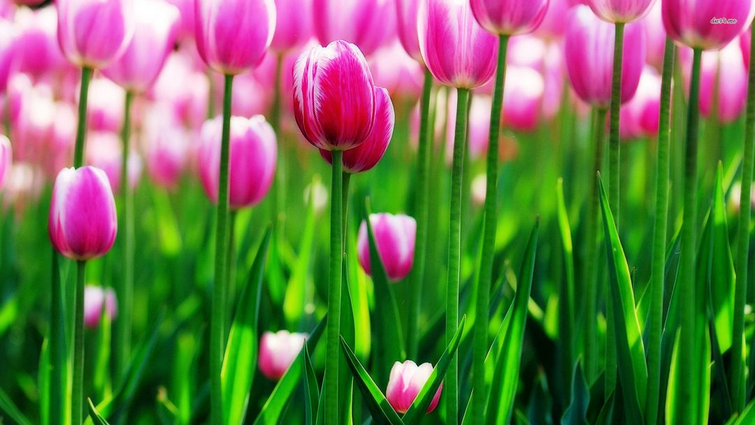 Tulips Background - Android, iPhone, Desktop HD Backgrounds / Wallpapers (1080p, 4k) (337499) - Flowers