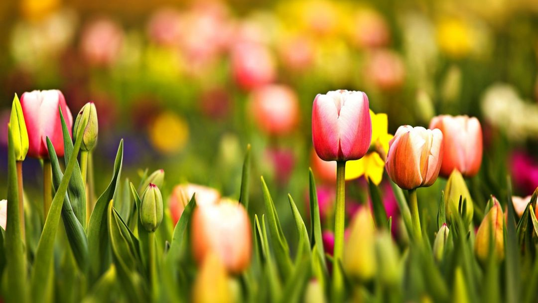 Tulips Background - Android, iPhone, Desktop HD Backgrounds / Wallpapers (1080p, 4k) (337563) - Flowers